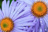 Beautiful purple daisy flowers — Stok fotoğraf