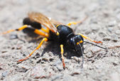 Wasp macro — Stock Photo