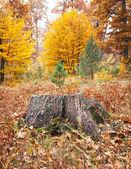 Starego pnia drzewa — Zdjęcie stockowe