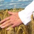 Womans hand brushing over wheat field — Stock Video