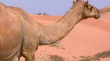 Camel walk on street — Stock Video
