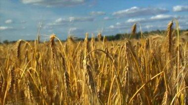 Dolly down in wheat rye corn field — Stock Video