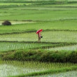 Stock Video: Walking on rice field in rain 10186