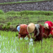 Woman plant rice 10207 — Stock Video