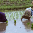 Woman plant rice close 10208 — Stock Video