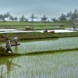 Working on rice fields -wide 10214 - Stock Photo