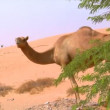 Camel watch around 10288 - Stock Photo