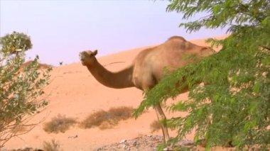 Camel watch around 10288 — Stock Video