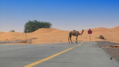Camel on desert street heat haze 10292 — Stock Video