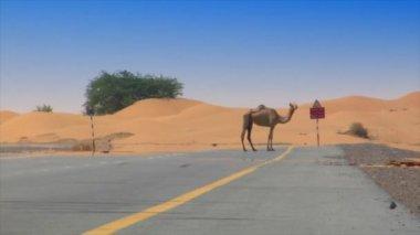 Camel on desert street heat haze 10292 — Stock Video
