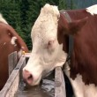Austrian cow drink water 10348 — Stock Video