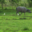 Water buffalo ox with 2 white birds 10425 — Stock Video