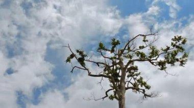 Locas nubes en lapso de tiempo árbol 10384 — Vídeo de Stock