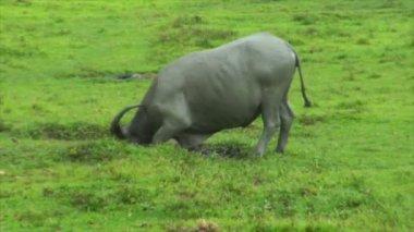 Water buffalo ox walk in mud pool 10424 — Stock Video