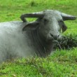 Water buffalo ox in mud pool 10429 — Stock Video