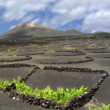 Stock Video: Lgerivolcanic wine growing region 10504
