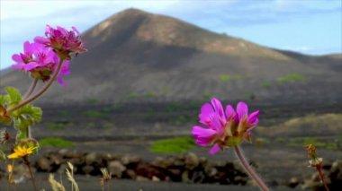 火山のワイン産地 10505 の花 — ストックビデオ