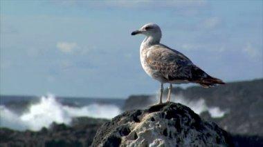 Seagull met zware surf achtergrond 10511 wazig — Stockvideo