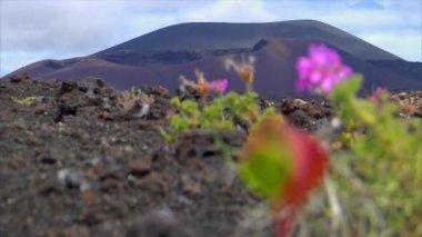 Plant living on dead volcanic ground defocus 10523 — Stock Video