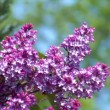 Pink lilac with bee 10689 — Stock Video