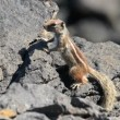 Barbary ground squirrel watch Atlantoxerus getulus 11112 — Stock Video
