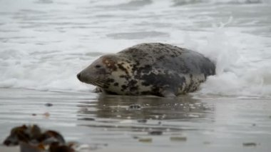 Female grey seal watch attentive her pup 11229 — Stock Video