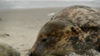 Female grey seal smells at her pup 11230 — Stock Video