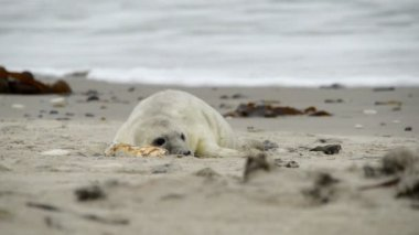 Grey seal pup playing 11232 — Stock Video