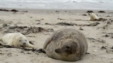 Grey seal mother with pup 11236 — Stock Video