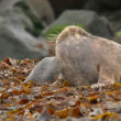 Young grey seals measure their forces 11238 — Stok video