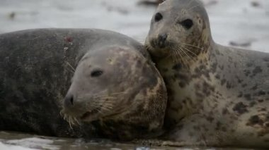 Grey seals during mating ritual 11240 — Stock Video