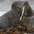 Grey seals during love game 11252 — Stock Video