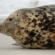 Stock Video: Young grey seal watch out 11253