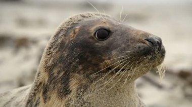 Grey seal super close 11247 — Stock Video