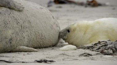 Grey seal pup searching for milk close 11248 — Stock Video
