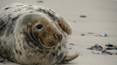 Female grey seal close 11251 — Stock Video