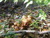 Mushrooms edible mushrooms — Stock Photo