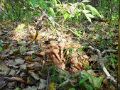 Agaric mushrooms — Stock Photo