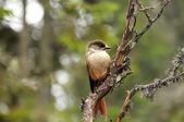 Siberian Jay — Stock Photo