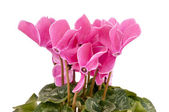 Cyclamen persicum — Stock Photo