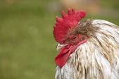 Tired rooster — Stock Photo