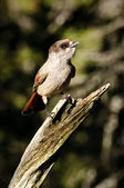 Siberian Jay on tree bransch — Stock Photo