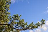 Branche d'arbre de pin — Photo
