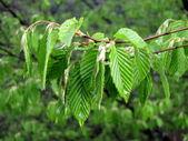 Jonge, groene, voorjaar bladeren van beukenhout boom — Stockfoto