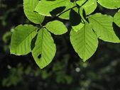 Back lit beech (Fagus) leaves on dark background and a silhouette of sunbathing fly — Stock Photo