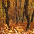 Lonely wild cherry tree in a fall colored beech forest, Mt Goc, Serbia — Stock Photo