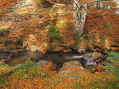 Big beech tree in autumn besides clear mountain stream — Stock Photo