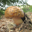 Delicious amanita rubescens, the blusher under the leaves in the forest — Stockfoto