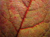 Red leaf close up — Stock Photo