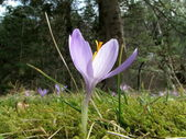 Wild saffron or crocus, very expensive spice, in a moss — Stock Photo